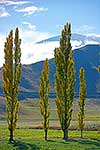 Stand of Poplar Trees