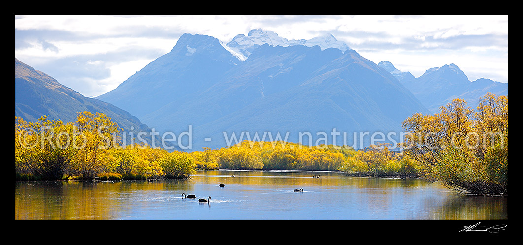 Image of Mount Earnslaw / Pikirakatahi (2830m) above willow tree lined wetland and ponds with Black swans feeding (Cygnus atratus). Panorama, Glenorchy, Queenstown Lakes District, Otago Region, New Zealand (NZ) stock photo image