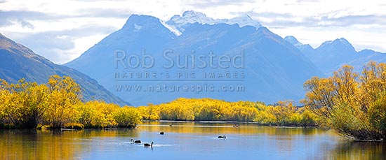 Mount Earnslaw / Pikirakatahi (2830m) above willow tree lined wetland and ponds with Black swans feeding (Cygnus atratus). Panorama, Glenorchy, Queenstown Lakes District, Otago Region, New Zealand (NZ) stock photo.