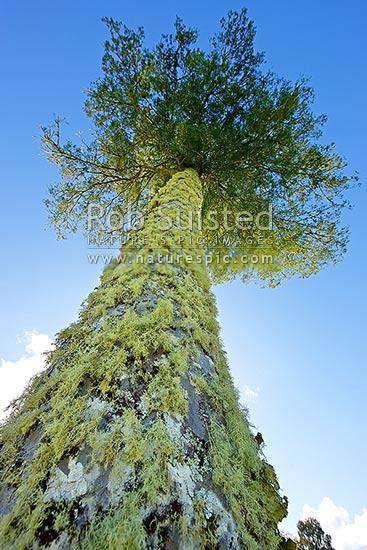 kahikatea tree dacrycarpus dacrydioides standing against