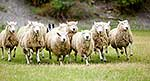 Sheepdog hearding flock