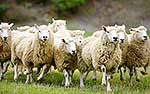 Sheep racing in paddock