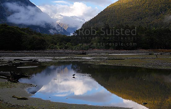 Snowy Fiordland mountains reflected in tide pools. Arthur Valley. Oystercatcher bird (Haematopus unicolor) wading and feeding at dawn, Milford Sound, Fiordland National Park, Southland District, Southland Region, New Zealand (NZ) stock photo.