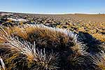 Ice covered tussock