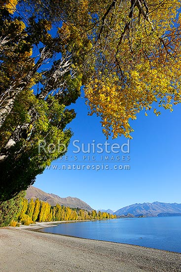 Coloured tall Poplar trees lining Lake Wanaka foreshore waterfront on a perfectly still autumn day. Otago mountains beyond, Wanaka, Queenstown Lakes District, Otago Region, New Zealand (NZ) stock photo.