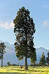 Tall trees near Southern Alps