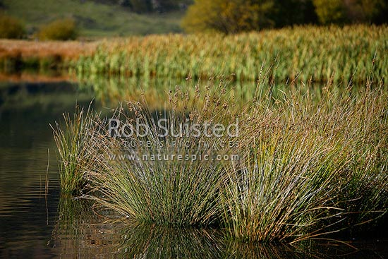 Wetland Native Rushes On Edge Of Pond Probably Juncus