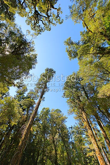 Looking up through tall canopy trees in rainforest, native podocarp forest, mainly Kahikatea trees (Dacrycarpus dacrydioides), Westland District, West Coast Region, New Zealand (NZ) stock photo.