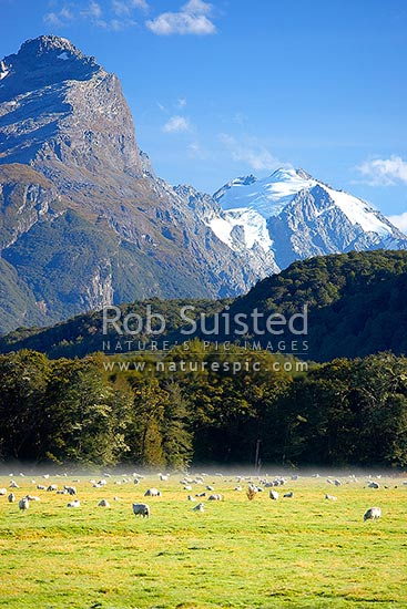 Sheep grazing in morning mist below Mt Chaos (1995m left) and Poseidon Peak (2208m). Dart River valley at Paradise, Glenorchy, Queenstown Lakes District, Otago Region, New Zealand (NZ) stock photo.