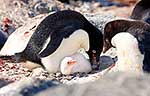 Cute little white Adelie penguin
