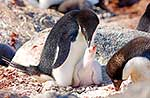 Cute white Adelie penguin