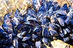 Blue mussels clinging to rocks