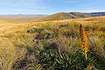 Alpine flowers in tussock country
