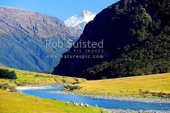 Sheep flock grazing on farmland beside Matukituki River Valley West Branch. Mt Edward (2620m), Mt Aspiring National Park and forest beyond, Wanaka, Queenstown Lakes District, Otago Region, New Zealand (NZ) stock photo.