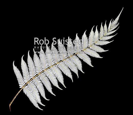New Zealand Silver fern tree fern leaf underside on pure black background. Iconic national Kiwi symbol or emblem, native Ponga (Cyathea dealbata), New Zealand (NZ) stock photo.