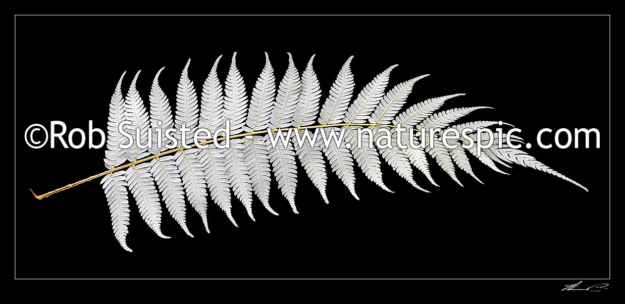Image of New Zealand Silver fern tree fern leaf underside on pure black background. Iconic national Kiwi symbol or emblem, native Ponga (Cyathea dealbata), New Zealand (NZ) stock photo image
