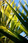 Blurred leaves of cabbage tree
