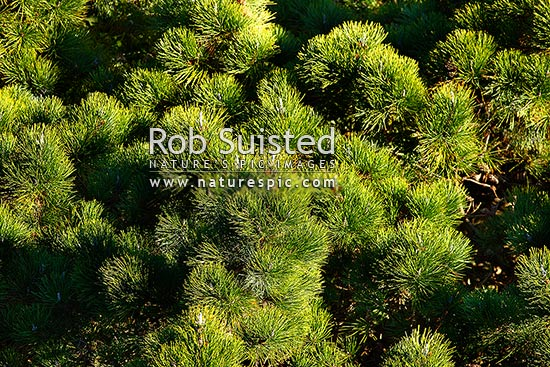 Radiata Pine canopy, crown and needles (Pinus radiata; Pinaceae), known as Monterey Pine, New Zealand (NZ) stock photo.
