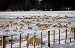 Sheep grazing in winter snow