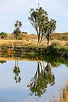 Cabbage trees reflected in river