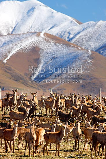 Farmed Red Deer herd in winter. Eyre Mountains behind in snow (Cervus elaphus), Athol, Southland District, Southland Region, New Zealand (NZ) stock photo.
