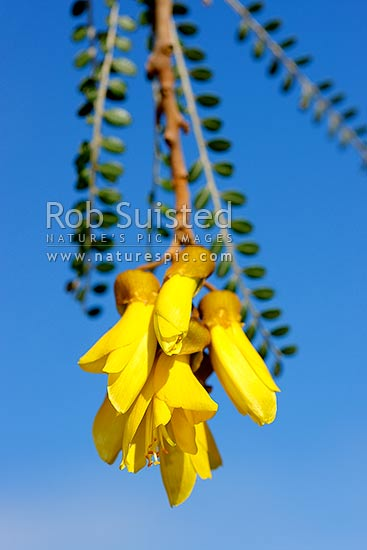 Kowhai Flowers (Sophora tetraptera; Fabaceae). NZ native flowers and leaves, New Zealand (NZ) stock photo.