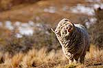 Merino ram in snow covered tussock