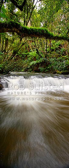 Purakaunui River. Forest stream and small cascading waterfall or riffle in lush New Zealand bush rainforest. Vertical panorama, Catlins, Clutha District, Otago Region, New Zealand (NZ) stock photo.