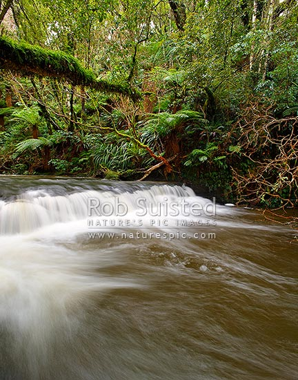 Purakaunui River. Forest stream and small cascading waterfall or riffle in lush New Zealand bush rainforest., Catlins, Clutha District, Otago Region, New Zealand (NZ) stock photo.