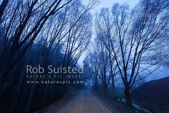 Farm road through barren trees in cold damp winter morning mist. Deciduous trees, Picton, Marlborough District, Marlborough Region, New Zealand (NZ) stock photo.