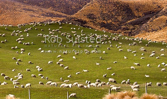 Large sheep flock feeding on grassland pasture. Lush farmland panorama, Mossburn, Southland District, Southland Region, New Zealand (NZ) stock photo.