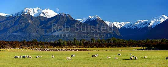 Sheep flock grazing in lush fields with snowy Fiordland mountains beyond. Panorama, Manapouri, Southland District, Southland Region, New Zealand (NZ) stock photo.