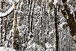 Snow covered beech forest