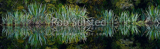 Native flax plants, leaves and Podocarp forest reflected in the shores of a calm wetland lake (Phormium tenax). Panorama, Westland National Park, Westland District, West Coast Region, New Zealand (NZ) stock photo.