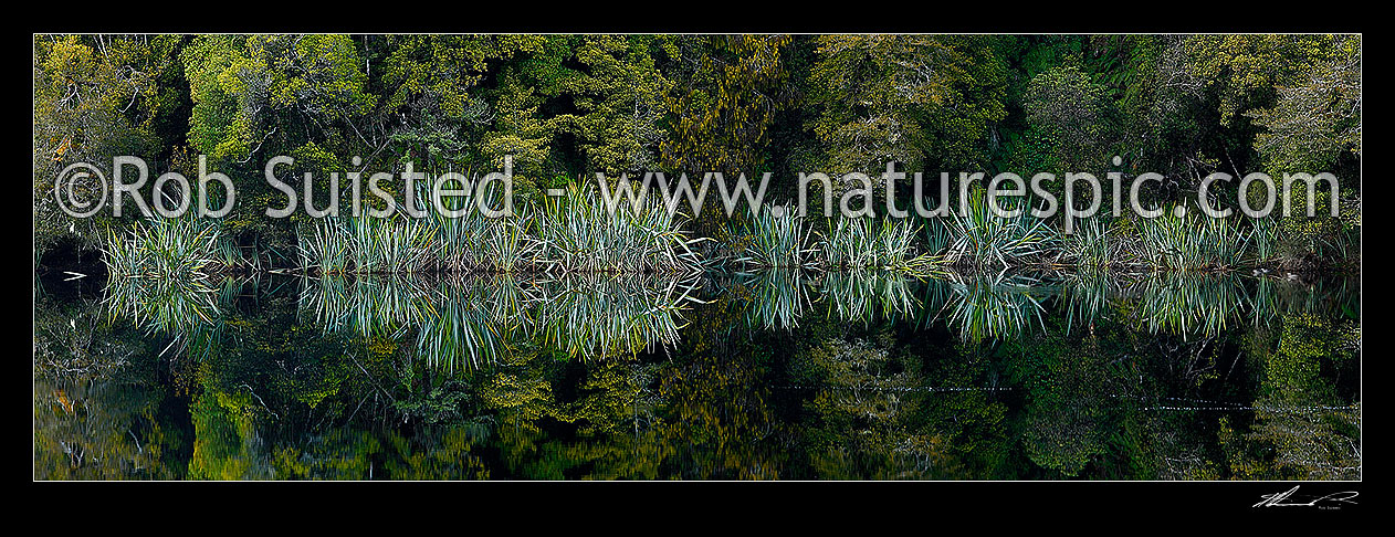 Image of Native flax plants, leaves and Podocarp forest reflected in the shores of a calm wetland lake (Phormium tenax). Panorama, Westland National Park, Westland District, West Coast Region, New Zealand (NZ) stock photo image