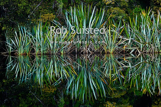 Native flax plants, leaves and Podocarp forest reflected in the shores of a calm wetland lake (Phormium tenax), Westland National Park, Westland District, West Coast Region, New Zealand (NZ) stock photo.