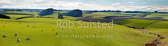 Rolling farmland with grazing sheep flock. Spring time in rural Southland. Panorama, Fortrose, Southland District, Southland Region, New Zealand (NZ) stock photo.