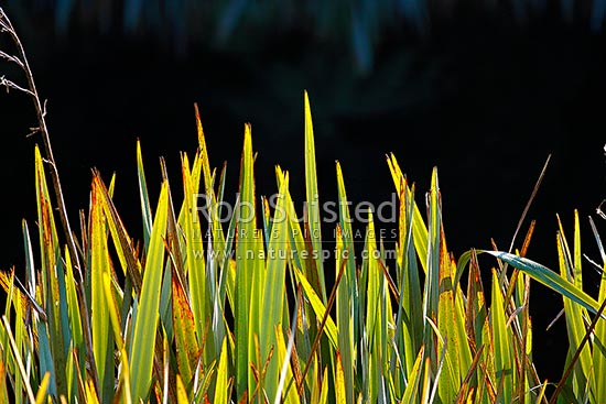 New Zealand Flax leaf and leaves backlit in sunlight (Phormium tenax), New Zealand (NZ) stock photo.