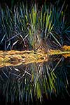 Native flax reflected in pond