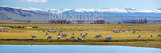Sheep grazing in the lush Ida Valley on a spring/winter day. Raggedy Range and Dunstan Mountains beyond. Irrigation lake reflecting on a perfectly calm day. Panorama, Ida Valley, Central Otago District, Otago Region, New Zealand (NZ) stock photo.