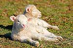 Baby lambs resting in the sunshine