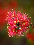 Bloom of the native Rata vine
