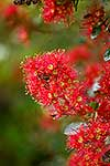 Blooms of the native Rata Vine