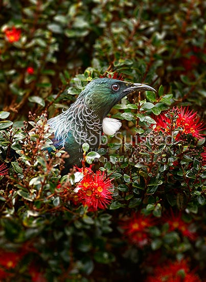 Tui bird feeding on nectar from Rata Vine flowers, Crimson rata, Carmine rata. NZ natives (Prosthemadera novaeseelandiae = Tui), (Metrosideros carminea; Myrtaceae = Rata), New Zealand (NZ) stock photo.