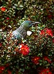Tui sitting amongst rata blooms
