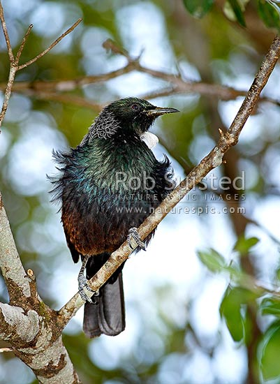 Tui bird sitting in tree with ruffled feathers in breeding plummage. NZ native (Prosthemadera novaeseelandiae), New Zealand (NZ) stock photo.