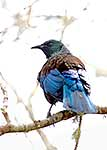 Colourful feathers of Tui in tree