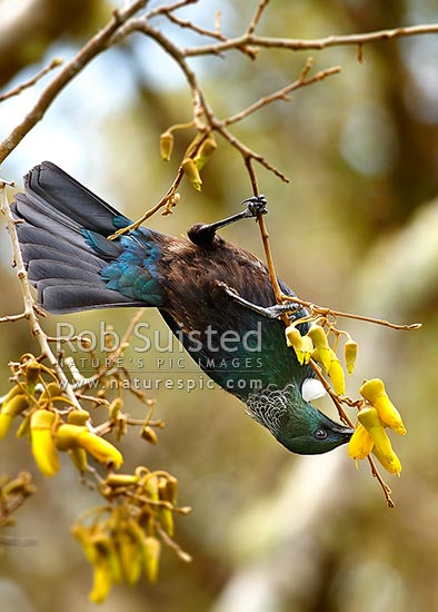 Tui bird feeding upside down on nectar from Kowhai flowers. NZ natives (Prosthemadera novaeseelandiae = Tui), (Sophora sp. = Kowhai), New Zealand (NZ) stock photo.