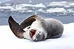 Yawning female leopard seal