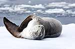 Large female leopard seal stretching